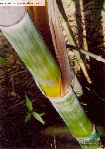橄榄竹图片