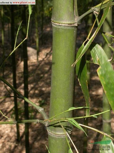 高节竹图片
