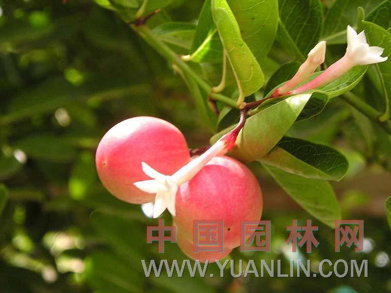 瓜子金图片