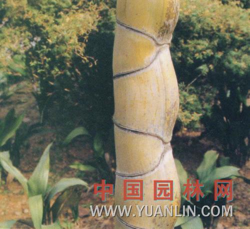 龟甲竹图片