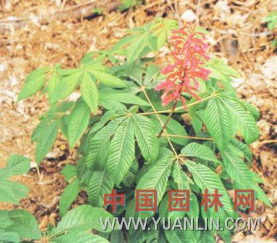 红花七叶树图片