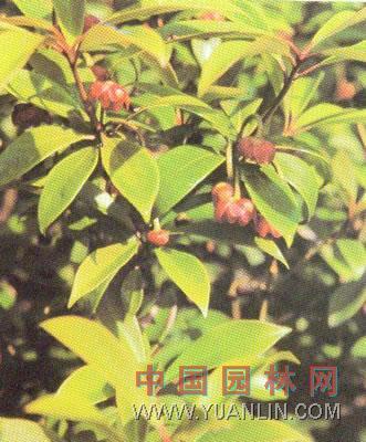 红茴香图片