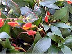 红岩桐图片