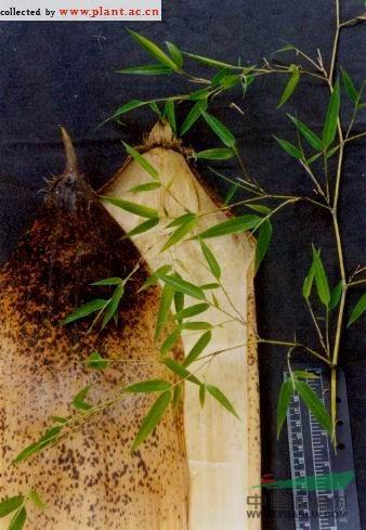 黄槽毛竹图片