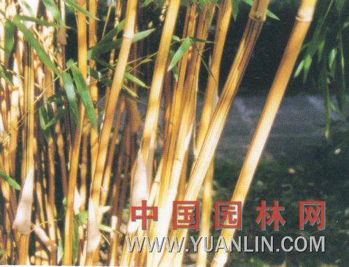 黄槽竹图片