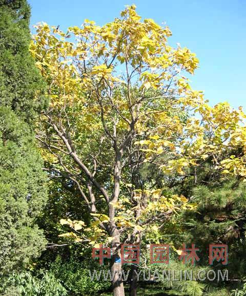 黄金树图片