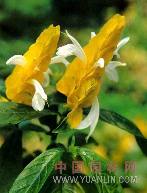 金苞花图片