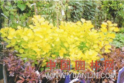 金叶黄栌图片