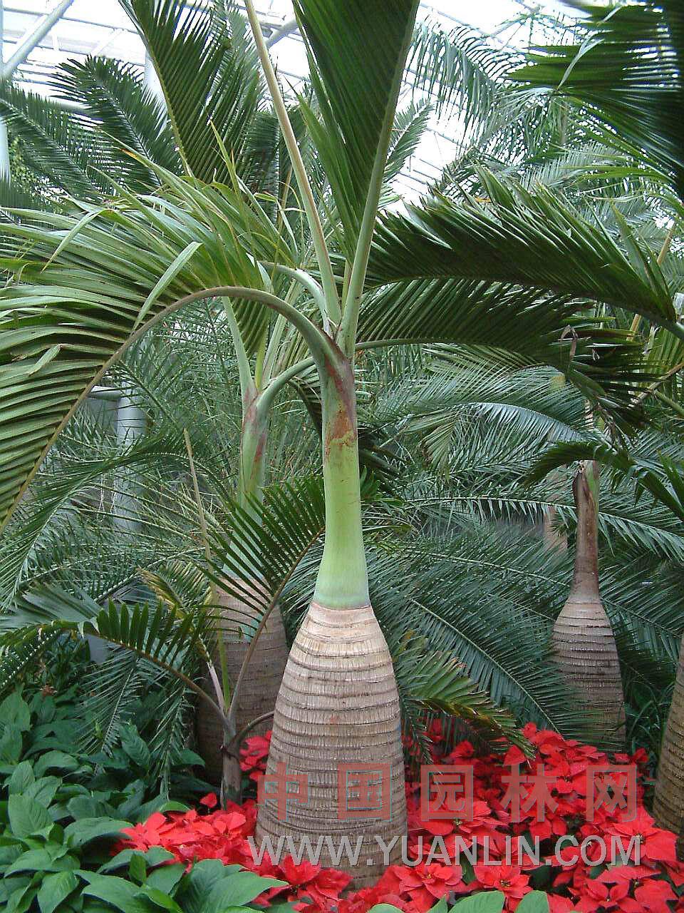 酒瓶椰子图片