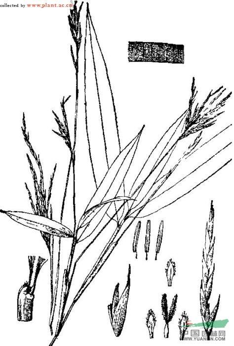 阔叶箬竹图片