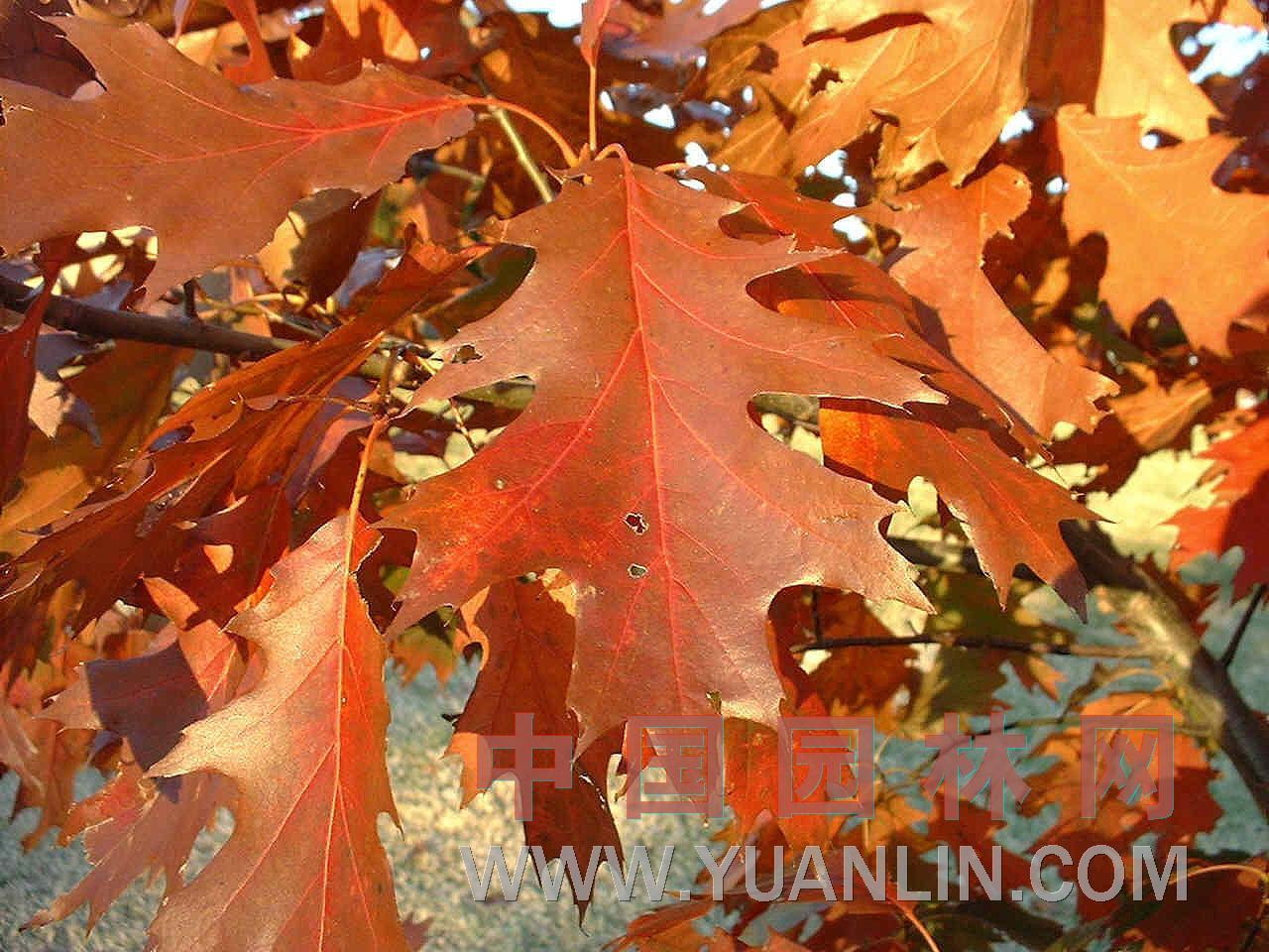 美国红橡树图片