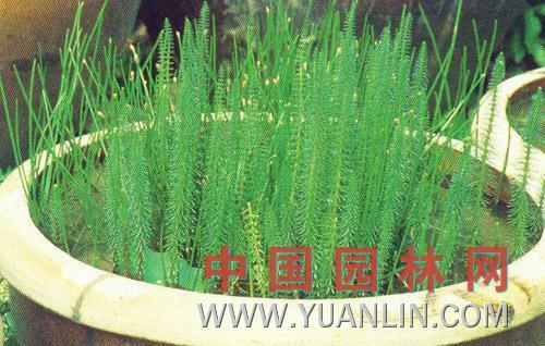 杉叶藻图片