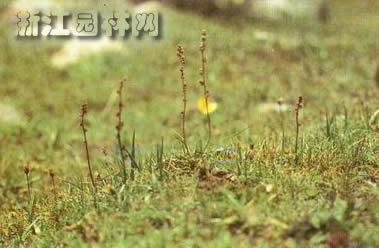 水麦冬图片