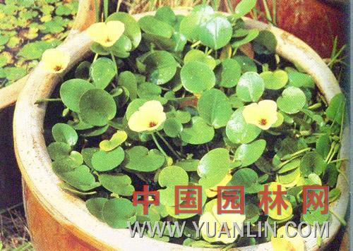 水罂粟图片