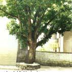 桃花心木图片