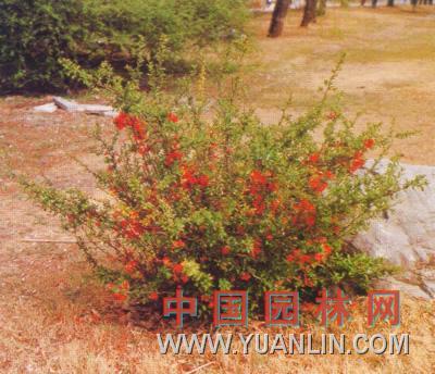 倭海棠图片