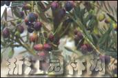 油橄榄图片