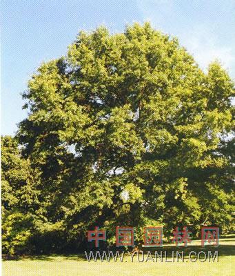 沼生栎图片
