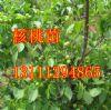 供应山西苗圃8518核桃苗辽核核桃苗香玲核桃苗品种