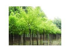 黄连木价格,南京黄连木价格,现在黄连木价格