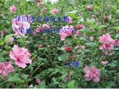 木槿 西府海棠 樱花 榆叶梅