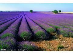 薰衣草,宿根薰衣草,薰衣草基地,普罗斯旺薰衣草,普罗旺斯