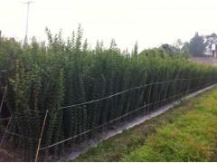 供应成都速生红花紫薇小苗 高度1.5米 量大从优