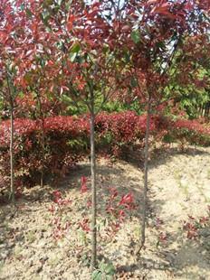 提供南京2-10公分红叶石楠小苗价格