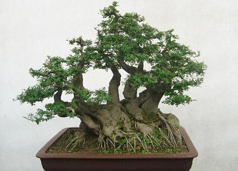 供应襄阳盆景、绿化树木、园林苗木、大型盆景批发出售