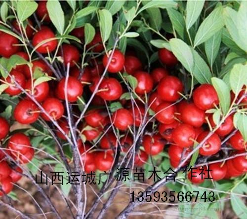 山楂苗,柿子苗,苹果苗,杏树苗,梨树苗,桃树苗,葡萄苗,李子苗,钙果苗