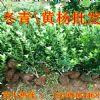 供应冬青苗 西安周至绿化带小树苗