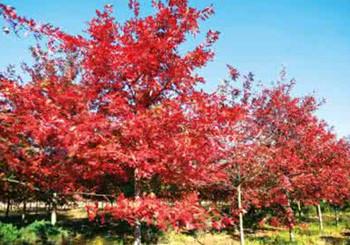 供应美国红橡树、红栎、纳塔栎价格