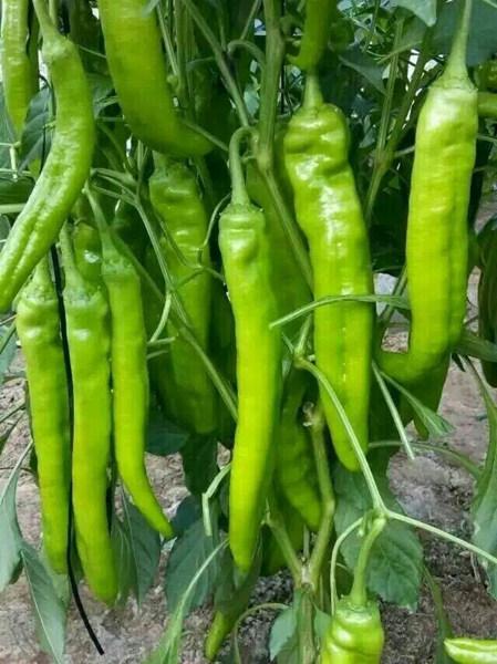 孟津出售辣椒苗 长尖椒种苗厂家