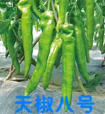 洛宁辣椒苗 寿光辣椒尖椒育苗厂
