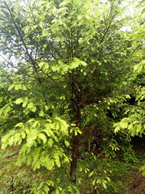 红豆杉小苗200万棵供应、批发红豆杉1-2-3公分