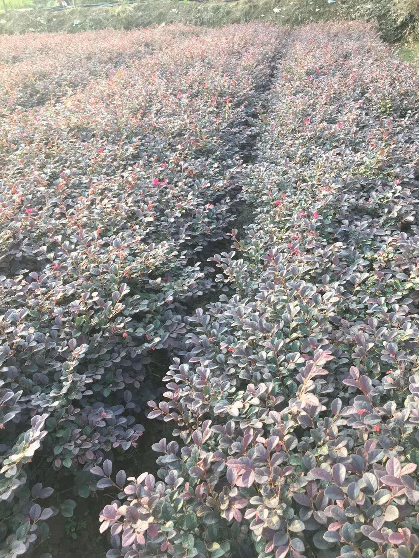 供应红继木杜鹃茶梅等色块和造林绿化苗