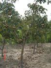 供应山楂树樱桃树苹果树核桃树