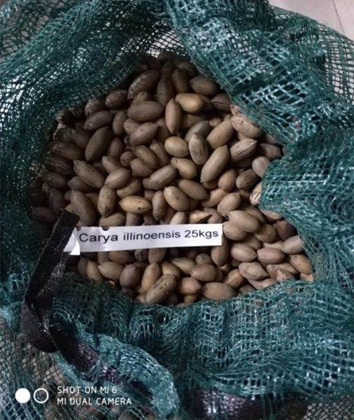 供应原装进口美国山核桃种子