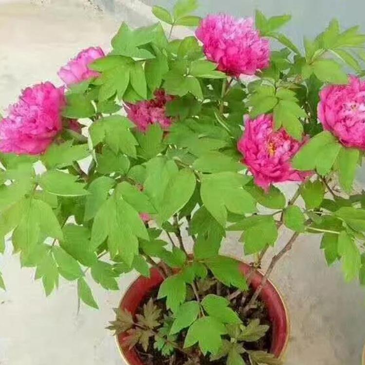 供应芍药盆栽、温室催花芍药、菏泽欣赏芍药