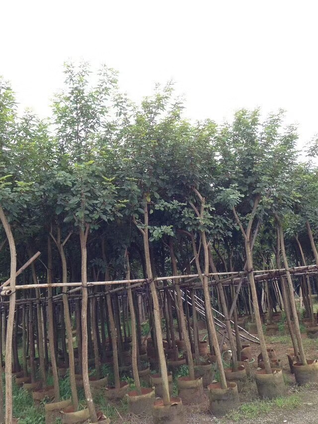 供应批发园林绿化黄花风铃木地径3-5公分厦门基地直