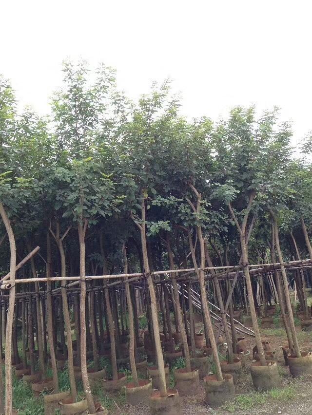 供应赣州黄花风铃木价格多少钱一棵