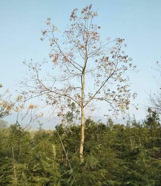 提供山东21公分乌桕树的价格