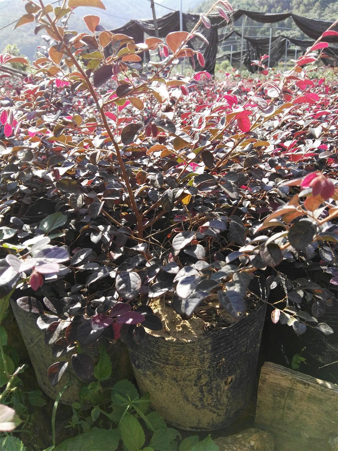 供应红花继木苗