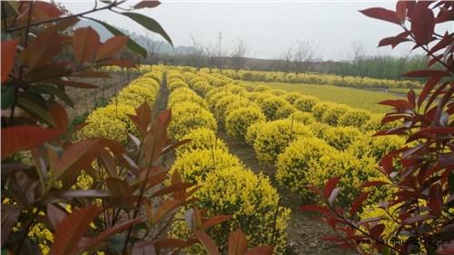 优质金叶榆树苗求购 金叶榆树苗存活率高 华夏供