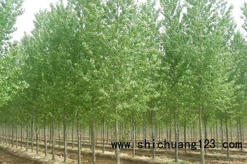 速生白蜡树价格|供应速生白蜡树|速生白蜡树批发|华夏供