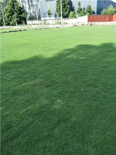 南充优质草坪供应|南充草坪基地|南充台湾二号草皮价格|劲鹰供