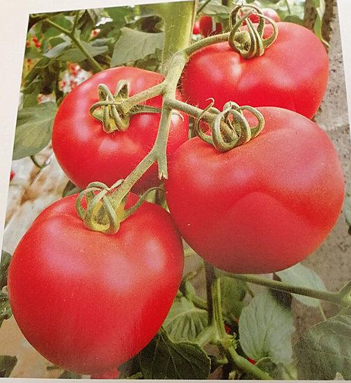 秦皇岛番茄苗 硬粉番茄苗基地