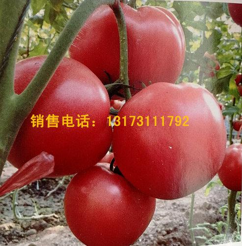 绛县西红柿苗 硬粉西红柿苗基地