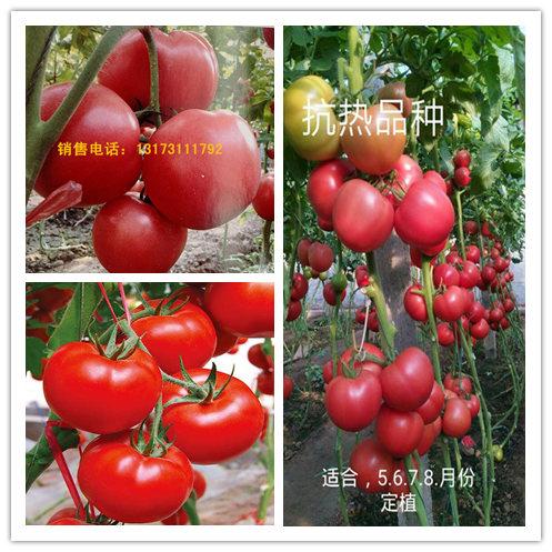 栾川番茄苗 硬粉番茄苗基地