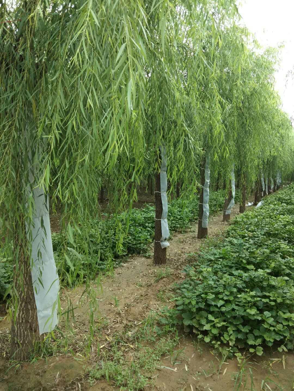 凯达绿化苗木常年低价出售金叶榆各种乔灌